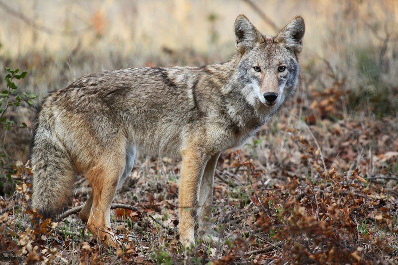 young coyote  canis latrans