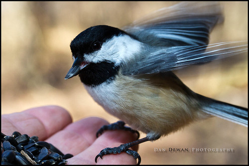Chickadee with sunflower seed_6665-Edit.jpg | by Dan Dewan