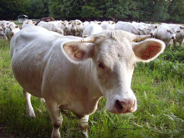 Charolais heifer and herdCharolais Heifer