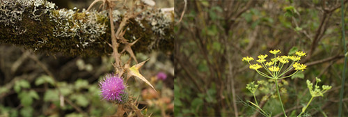 Thistle and Fennel | by Geninne