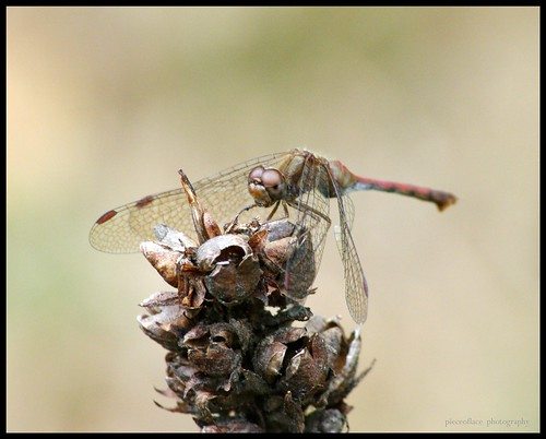 Female Autumn Meadowhawk (Sympetrum vicinum)... | by pieceoflace photography