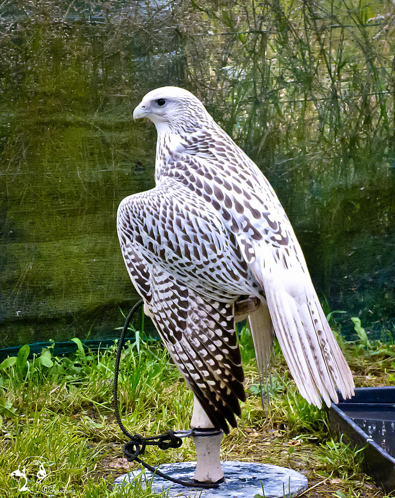 White Falcon | The Long Experience | Flickr
