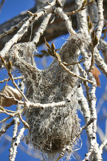 Bullock's Oriole nest | by colographicalchemy I'm back
