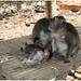 Monkeys at Sulawatu Temple