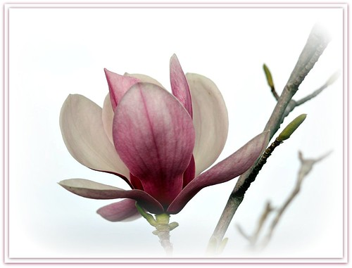 Magnolia (Explored) | by Happy Shuttering
