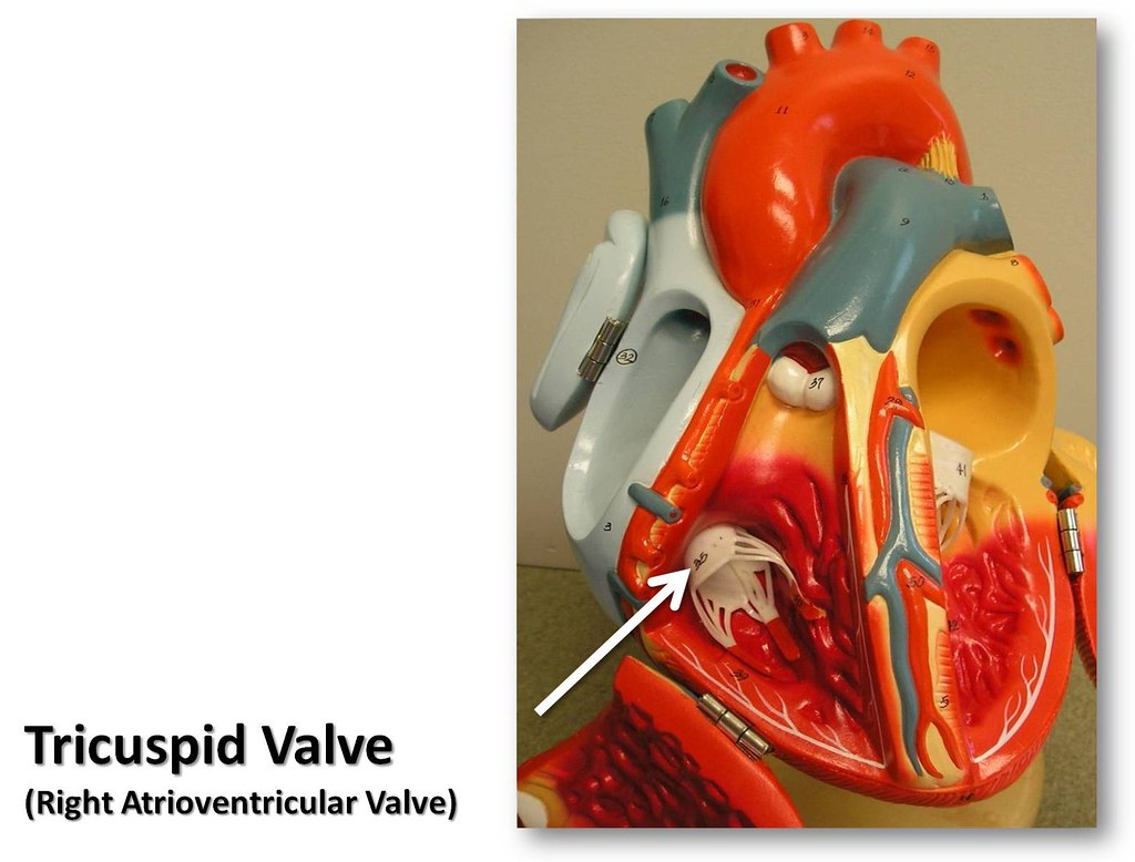 Tricuspid valve - The Anatomy of the Heart Visual Atlas, p… | Flickr