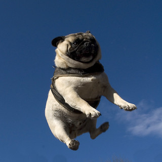 Pug Toss 5 | by jellywatson