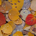 Fallen Aspen Leaves, Bishop Canyon (Eastern Sierra)