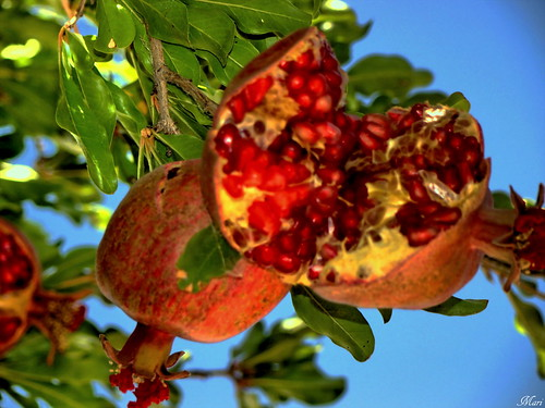 Pomegranate | by Mari Rasti