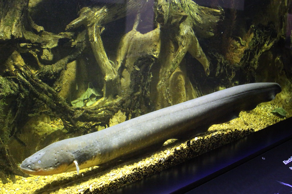 Electric Eel | The electric eel (Electrophorus electricus ...