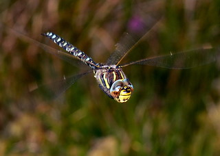 COMMON HAWKER DRAGONFLY | by Musicaltone
