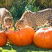 Pumpkins at Cheetah Run Busch Gardens 4