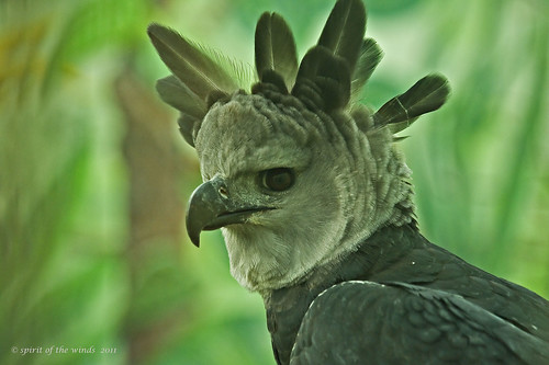 Up Close With The Harpy Eagle | by jimgspokane
