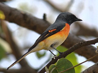 Small Minivet (Pericrocotus cinnamomeus),  male | by badjoby