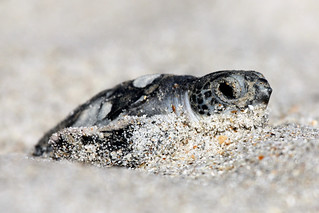 Green Sea Turtle | by USFWS/Southeast