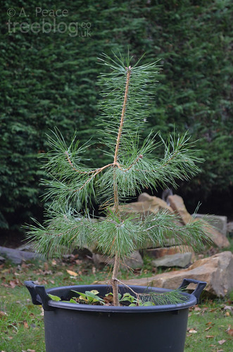 Scots pine Gamma (from treeblog's Set A) | by treeblog