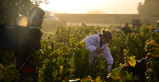 Early Start - Burgundy Grape Harvest 2011 | by The Hungry Cyclist