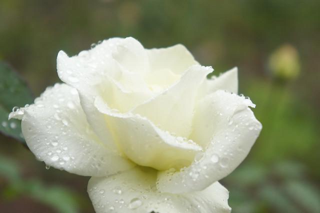 Rose John F. Kennedy バラ ジョン・F・ケネディ
