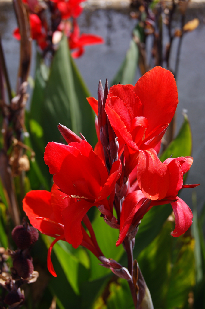 Canna indica | red Canna indica flower | jaquiManel | Flickr
