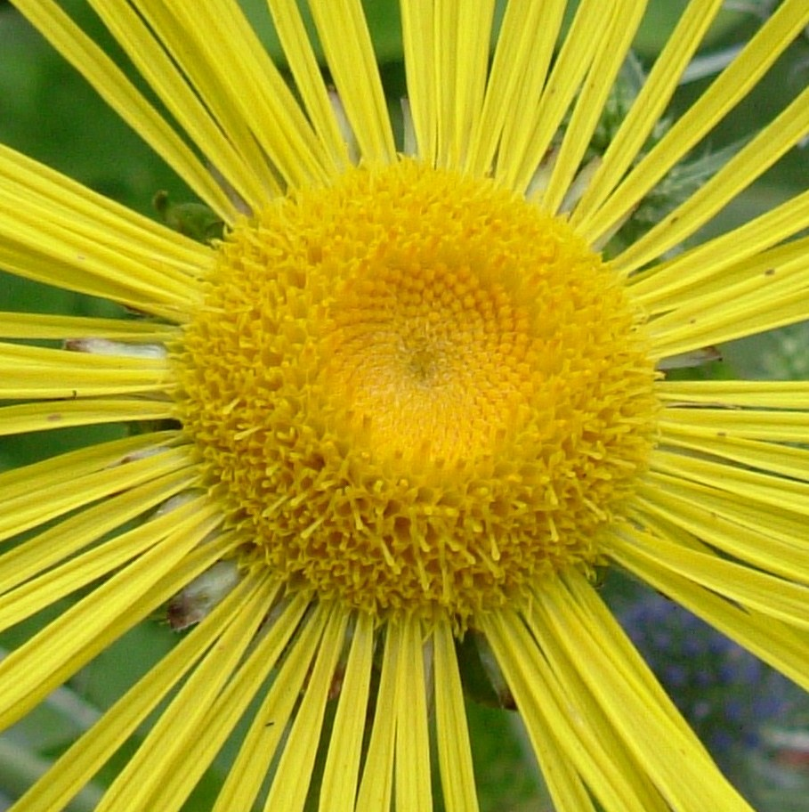 Beautiful Yellow Aster Flower Of Southwark Park London Se Flickr