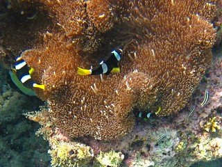 Maldives Underwater: Yellowtail Clownfishes dancing over their Actinia | by presbi