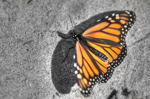 Beach Butterfly [HDR] | by jfelege
