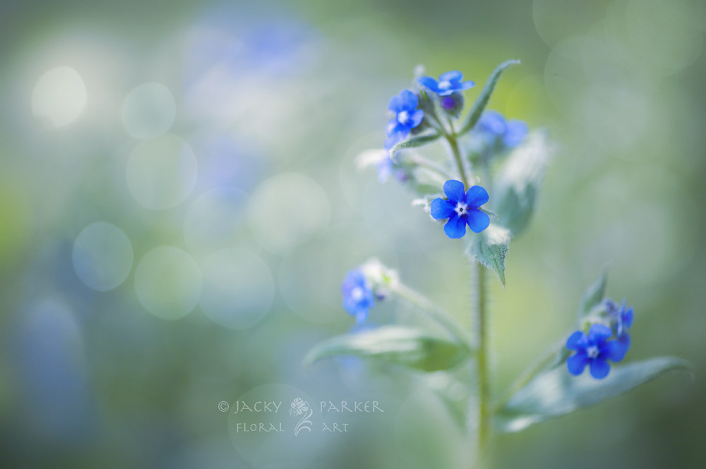 Flowers for Sherryl - Forget Me Not by Jacky Parker