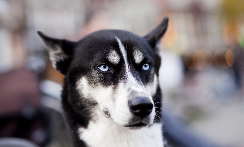 Siberian Husky mixed whit Border Collie | Roni Rekomaa ...