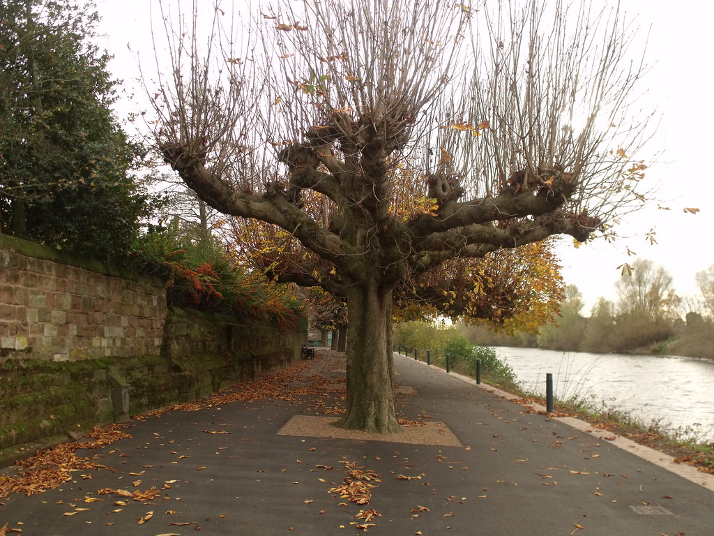 River Severn, Worcester - odd looking trees | The River ...