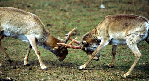 Saiga Fight 3 | by USFWS Headquarters
