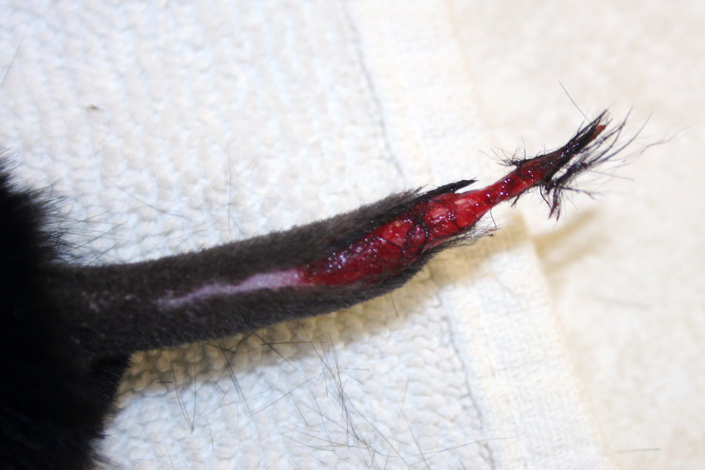Degloving Injury What Happens When A Cat S Tail Gets