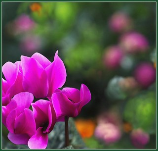 cyclamens | by Days of love