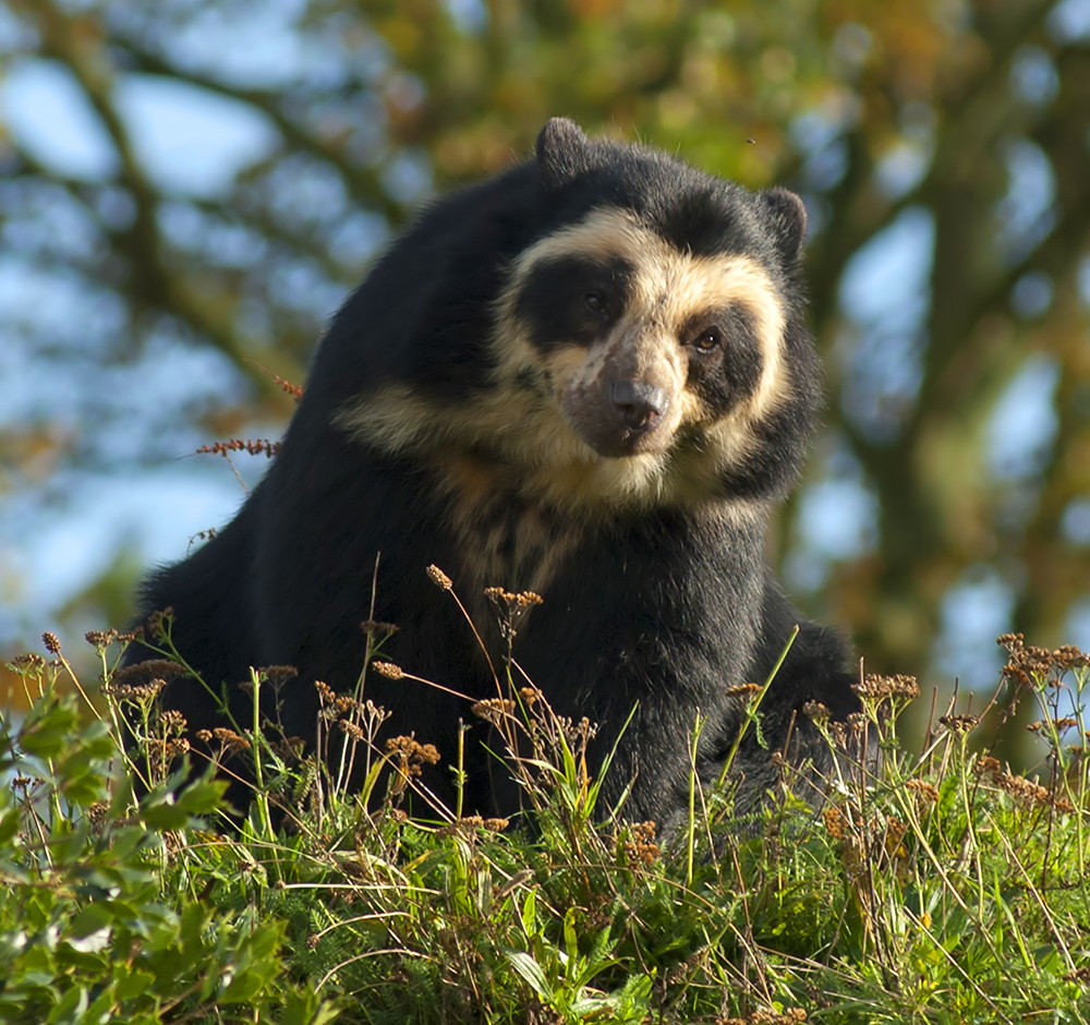 Female Spectacled Bear At Chester Zoo