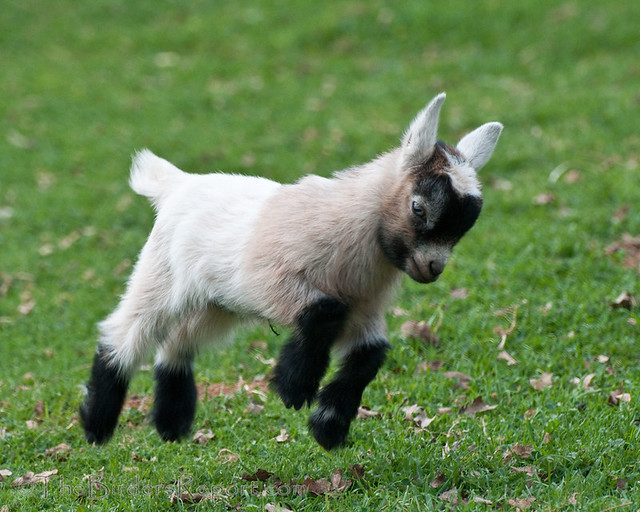 Baby pygmy goat jumping - photo#3