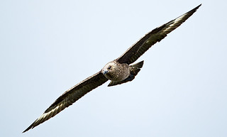 GREAT SKUA 3 | by Nigel Bewley