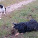 Bear on the mole patrol with bored beagle and sheep backup 2