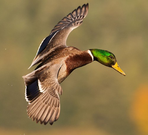 Mallard | by Ted Ardley Photography