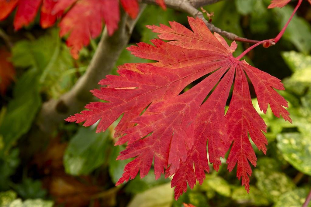 autumn acer japonicum aconitifolium the fern leaf full mo. Black Bedroom Furniture Sets. Home Design Ideas