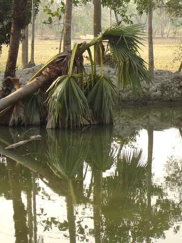 Pond dyke damaged by fallen trees, Bangladesh. Photo by WorldFish. 2008