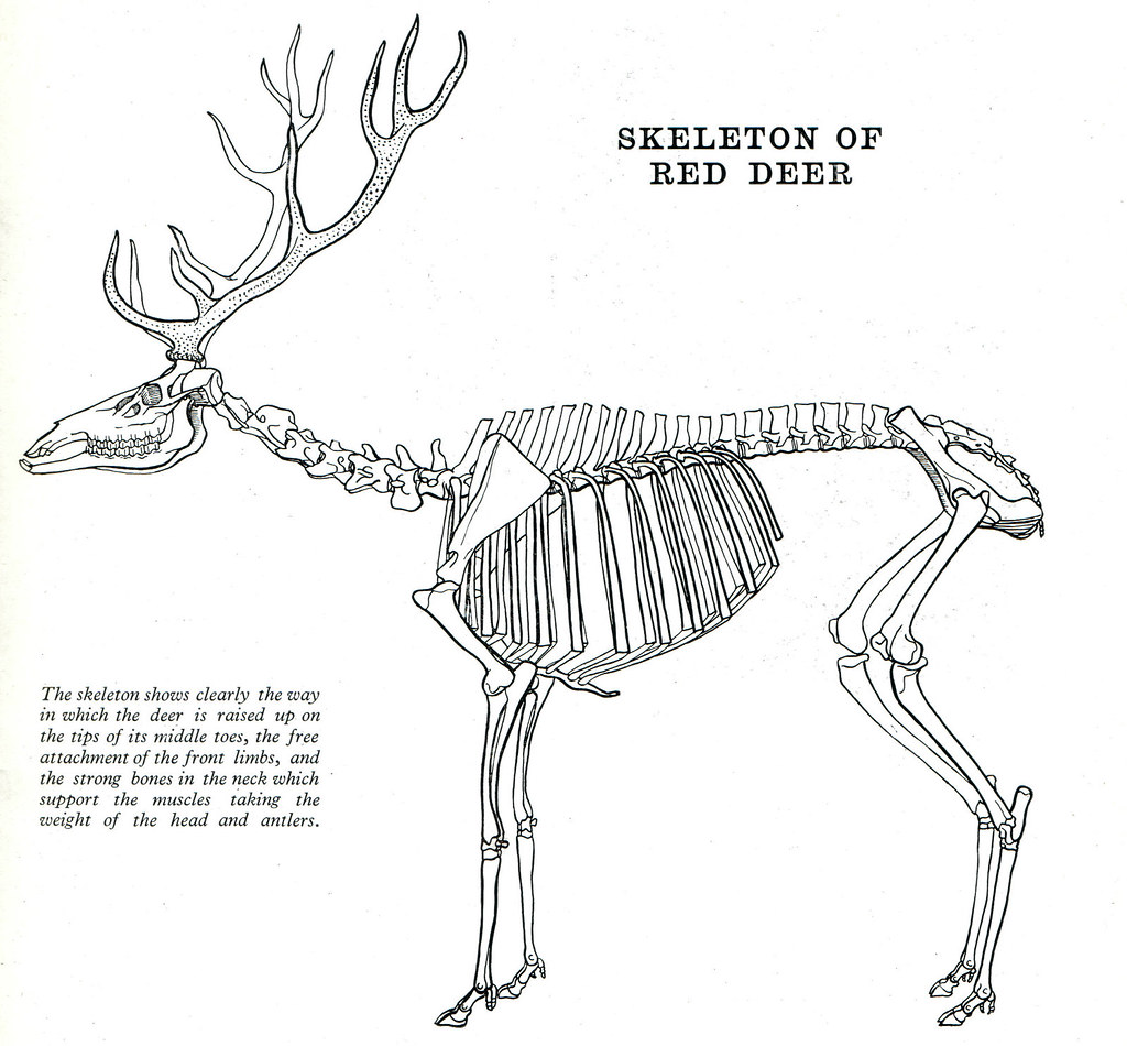 Whitetail Deer Skeleton Diagram House Wiring Diagram Symbols