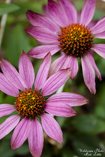 coneflower | by Oceanic Wilderness