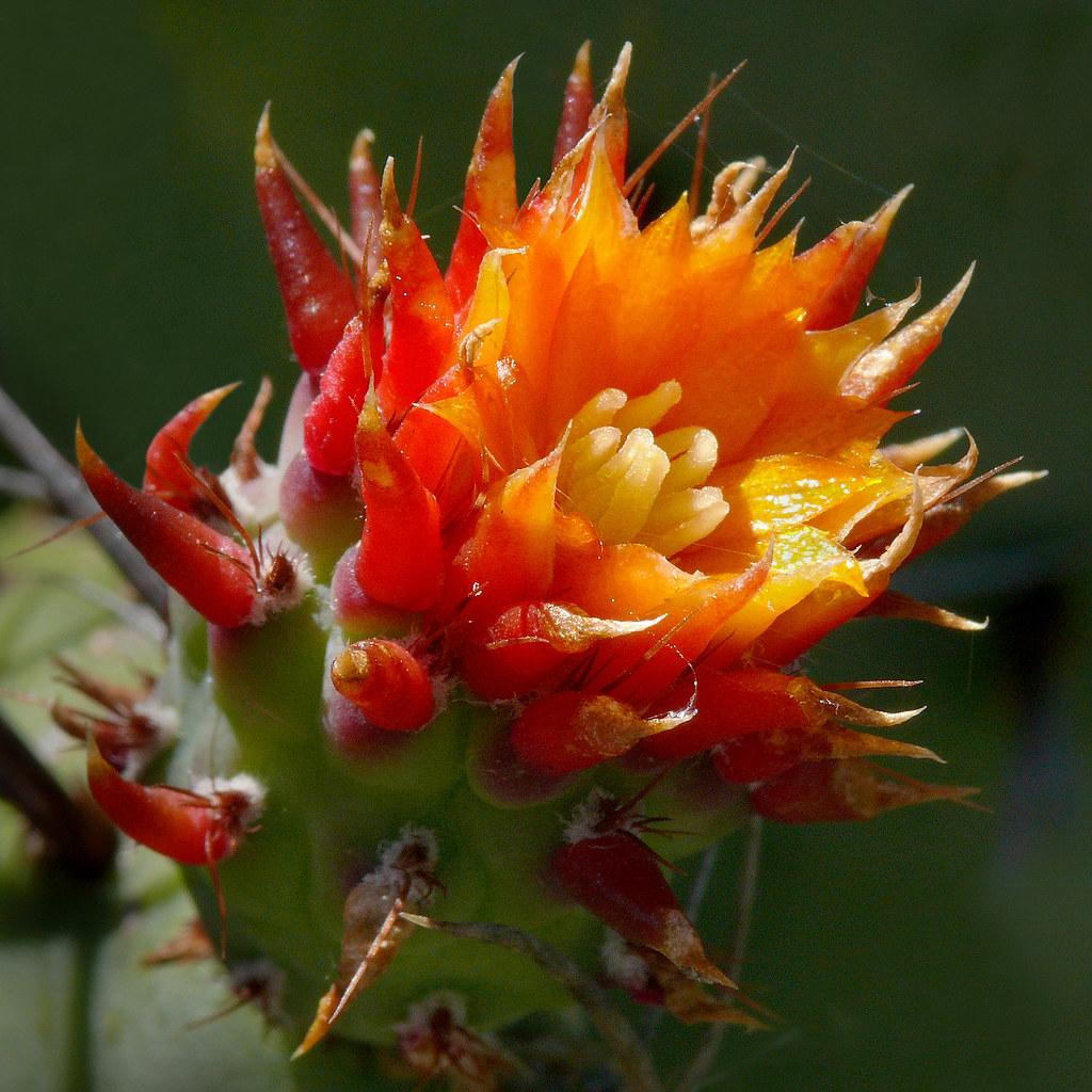 Opuntia stenopetala 4 Best viewed large size Cactaceae …