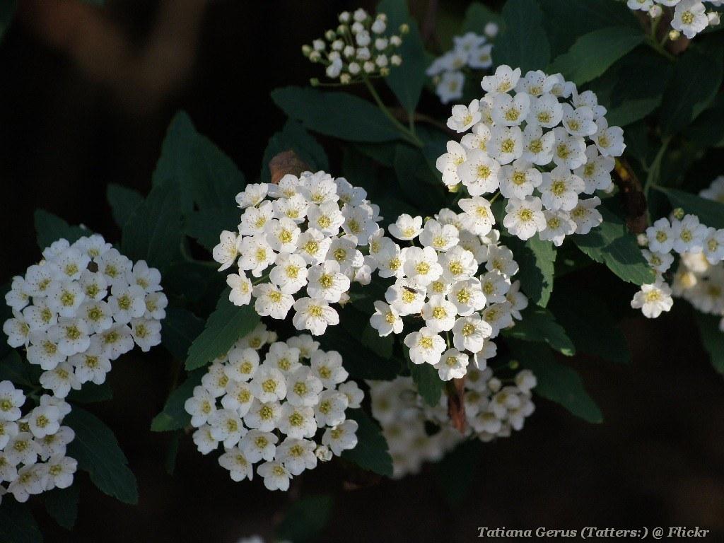Bush Small White Flowers