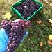 LaStella Pinot Gris - Harvest 2011