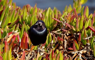 Little black Ocean bird, Santa Cruz, CA Nov. 13, 2011 | by KFrench Photography