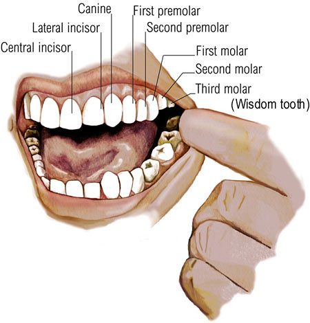 Teeth Diagram Learnerweb Flickr