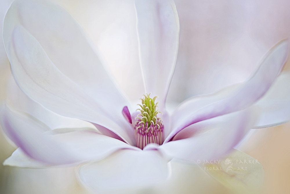 Photograph Magnolia Spring by Jacky Parker