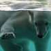 Hi, I'm Vicks, the polar bear