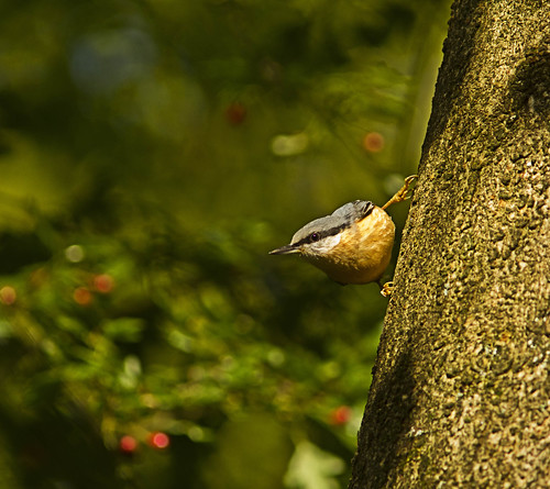 nuthatch | by davidrjohn1(AKA THE DIPPER)