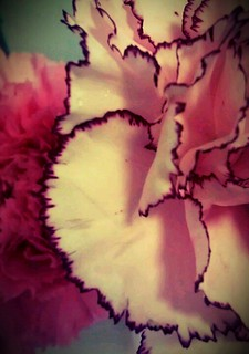 carnations | by Zulema (zoblue)